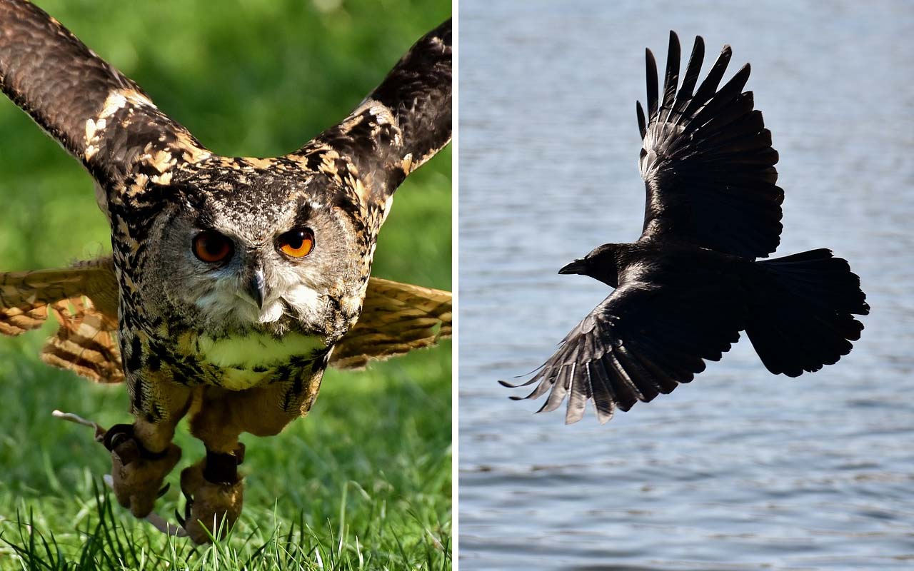 crows, owls, animals, birds, life, Earth, nature
