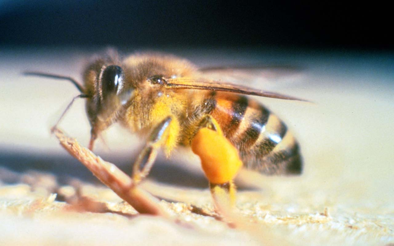 bees, banana, smell, life, nature, facts, insects