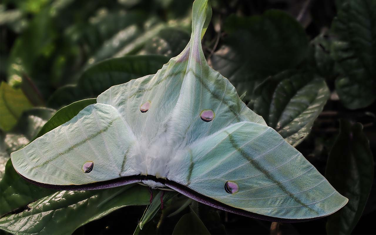 Luna moth, moth without mouth, insects, animals, life, science