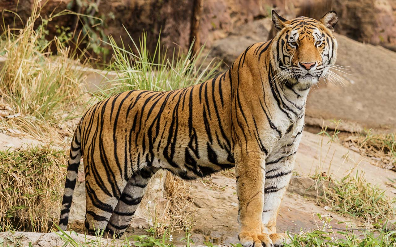 tiger, revenge, facts, life, people, angry, nature, wild
