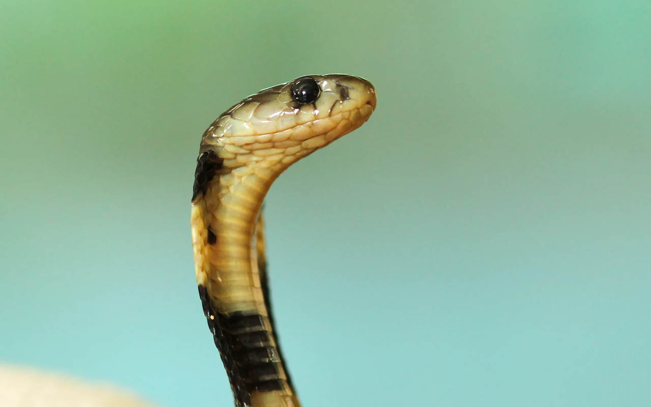 snake, venomous, nonvenomous, facts, nature, Earth