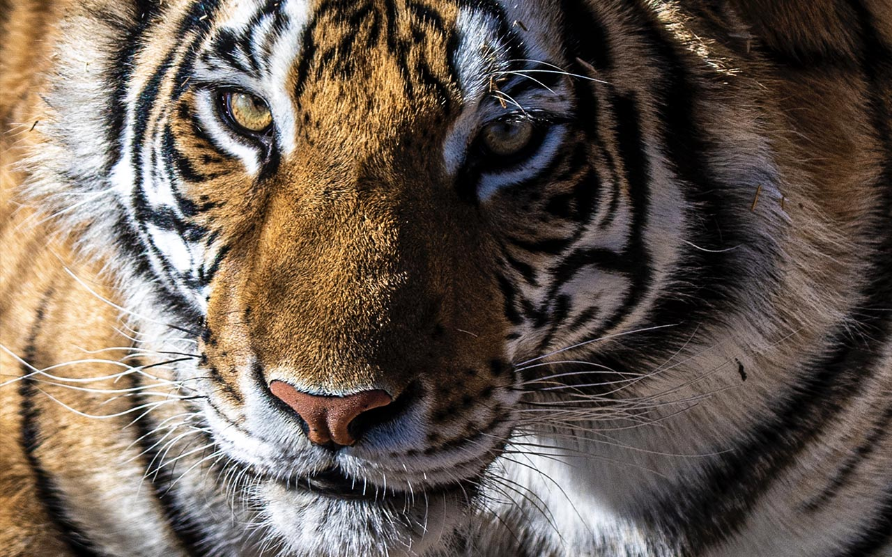 tiger, circus, animals, nature, facts, people, country