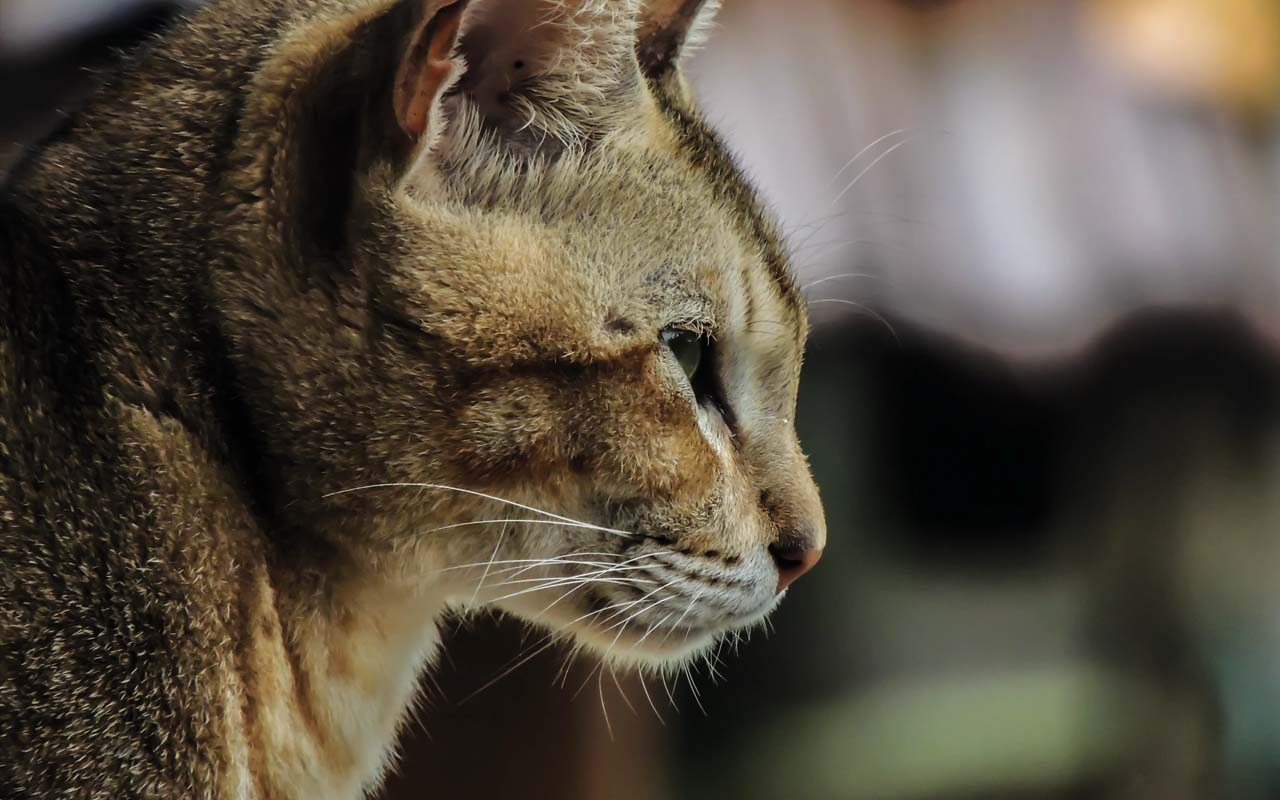 cat, purring, facts, science, animals, life, nature