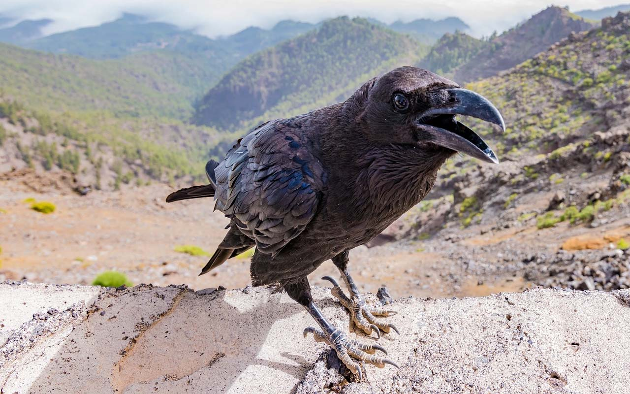 crows, raven, birds, animals, life, facts, stick