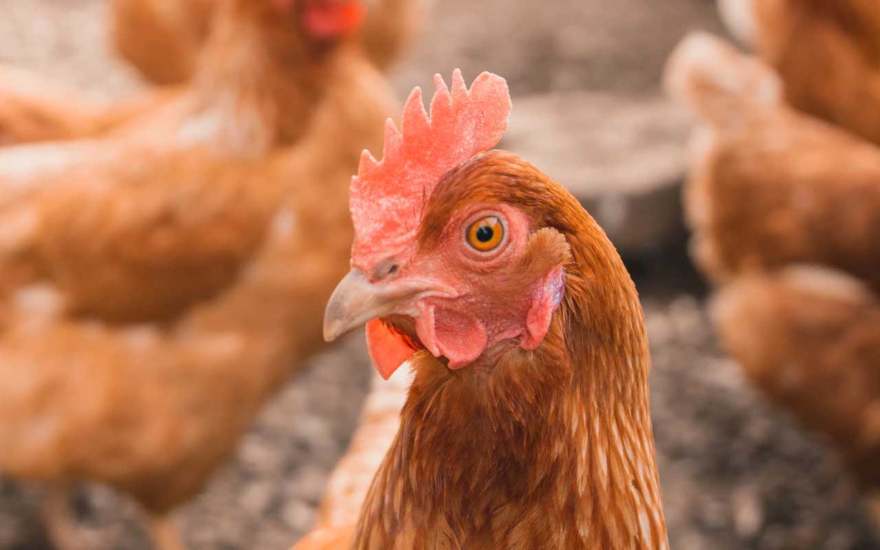 chicken, ear lobes, facts, science, people, eggs, life