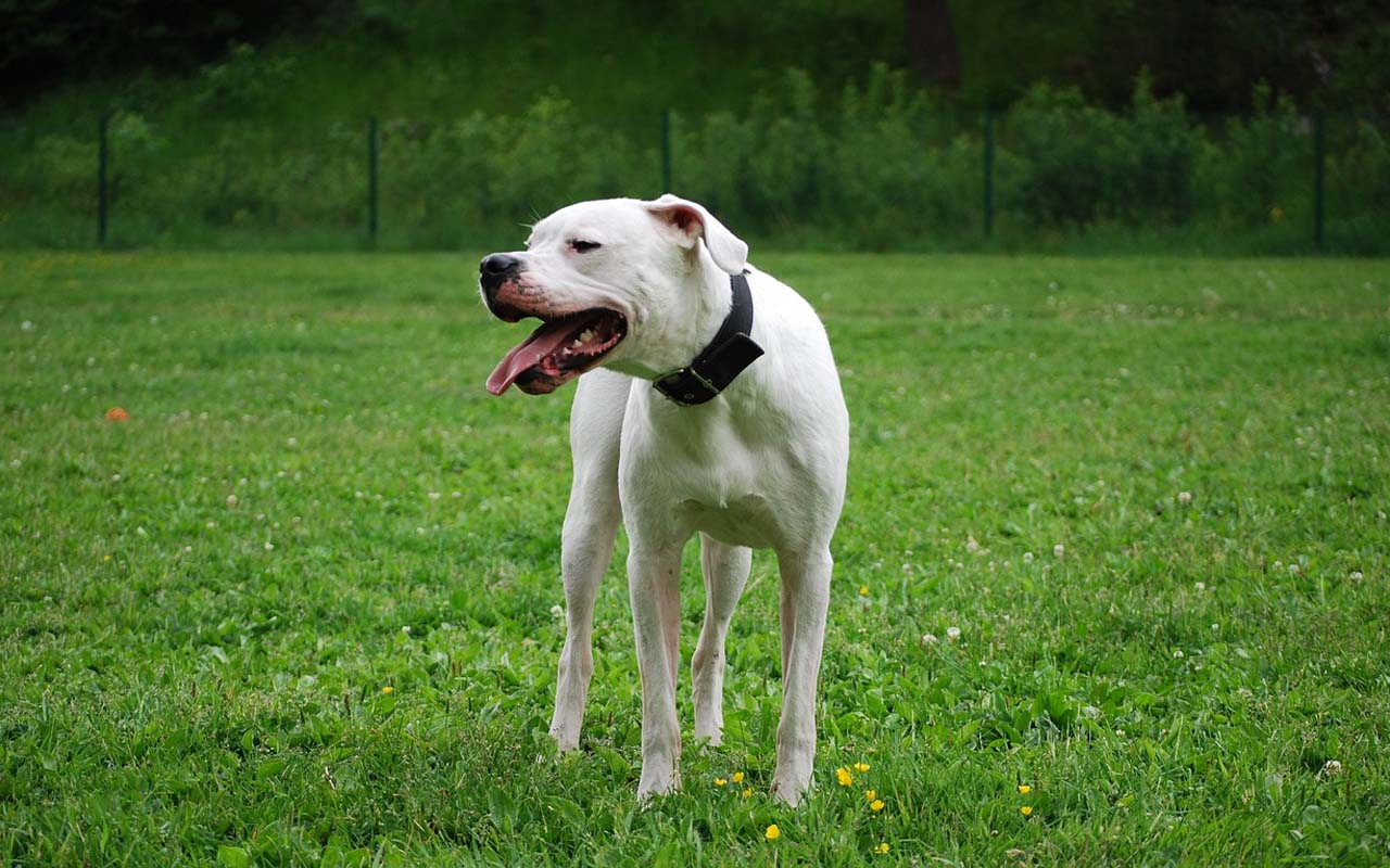 Dogo Argentino, list of dogs not allowed in other countries, listicles, facts, funny, animals, life, love