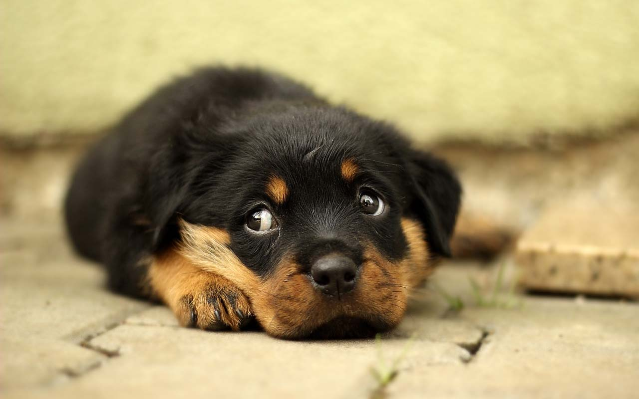 Rottweiler, countries, restrictions, animals, pets, love, adorable, puppy, facts, travel, world, Earth