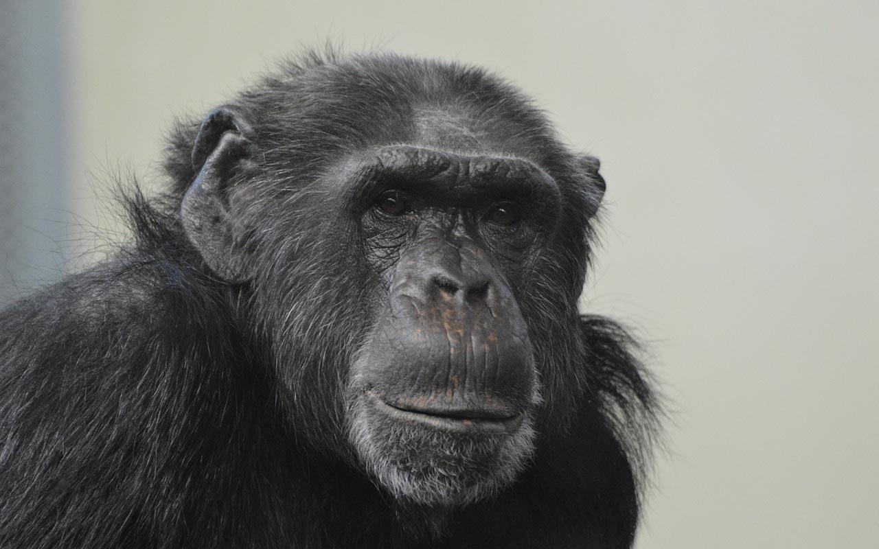 chimpanzee, facts, animal kingdom, humans, science