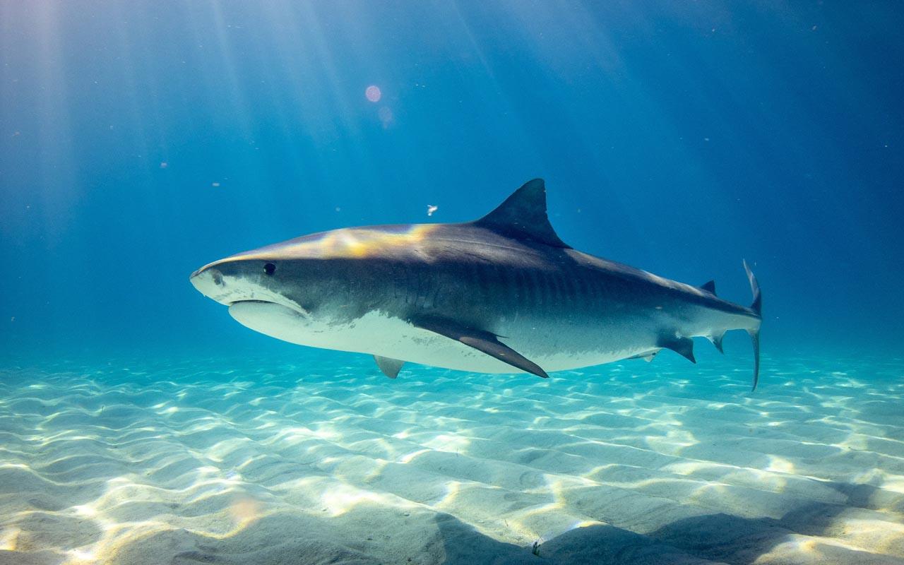 shark, swimming, ocean, life, rescue, wild, glance