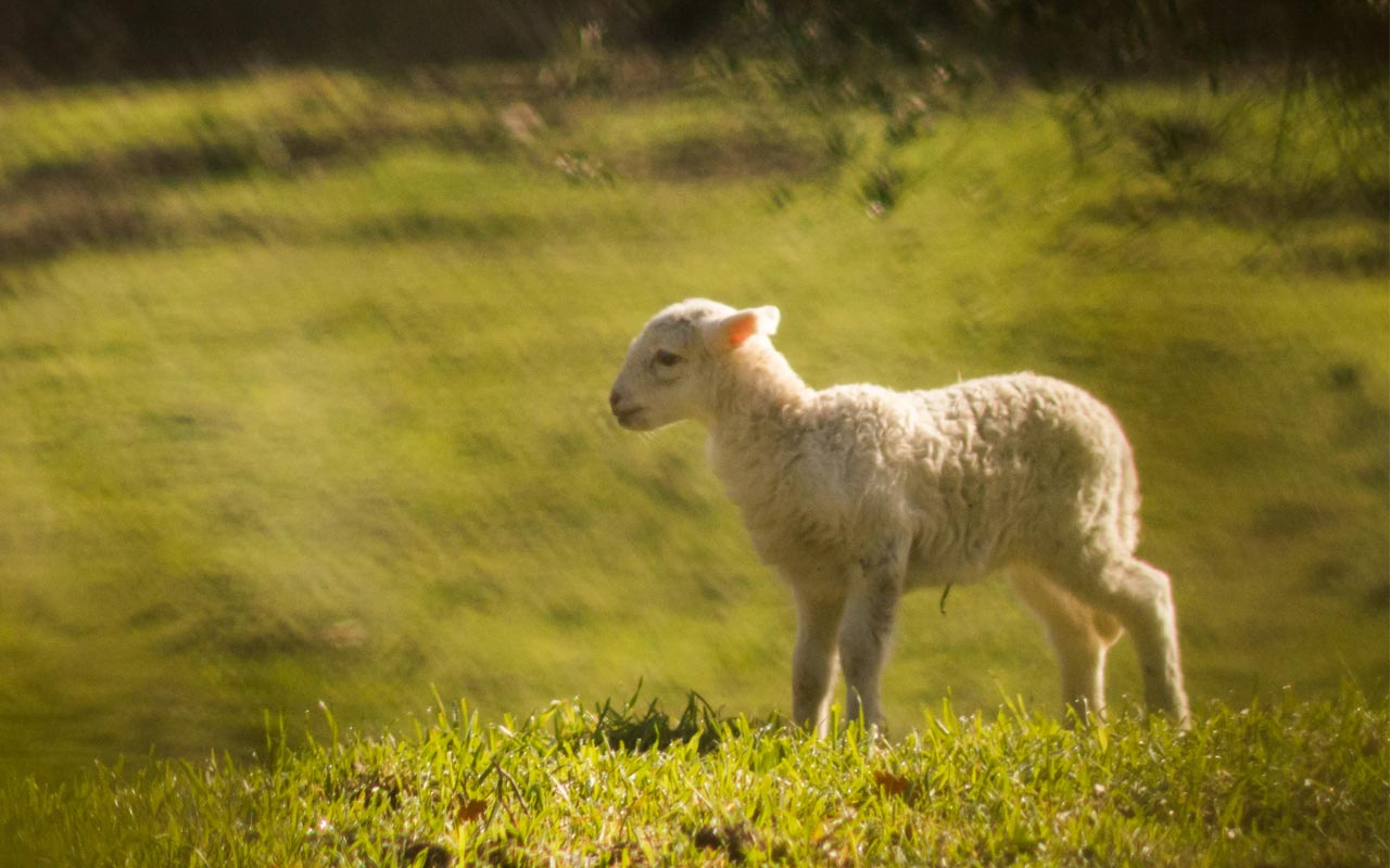 Mary had a little lamb, poem, history, ancient, facts, false, glance,
